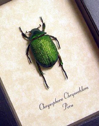 Real Framed Beetle Chrysophora Chrysochlora Female