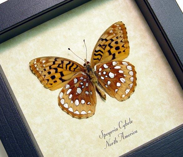 Speyeria cybele Spangled Fritillary