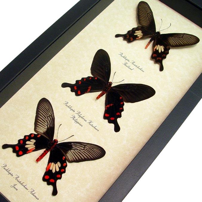Pachlioptera Set Swallowtail Butterflies