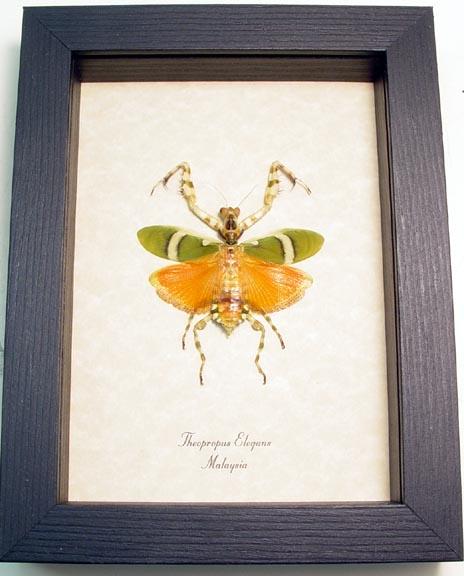 Theopropus elegans Flower Mantis