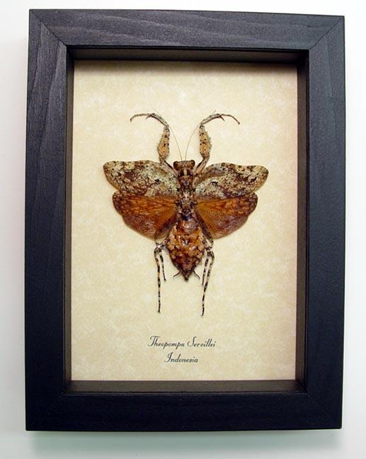Theopompa servillei Praying Mantis