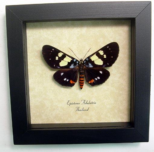 Episteme adulatrix Day Flying Moth