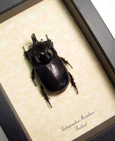 Trichogomphus martabani Rhino Beetle