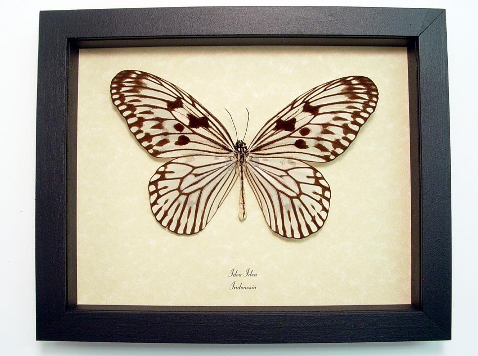 Idea idea butterfly designs real framed butterflies for White paper butterflies