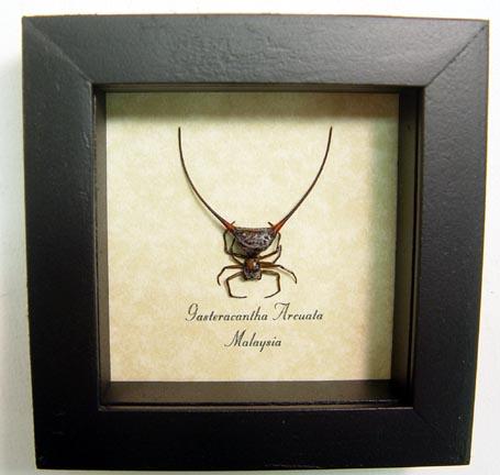 Framed Wishbone Spider Gasteracantha arcuata