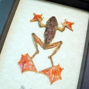 Rhacophorus Pardalis female Real Framed Amphibian Parachute Frog Display by butterfly-designs