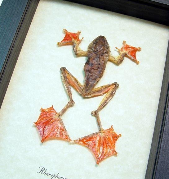 Rhacophorus pardalis Harlequin Tree Frog