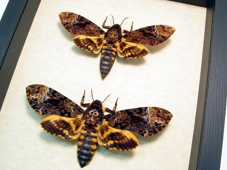 Death Head Moth Pair - Butterfly Designs - Real Framed Butterflies
