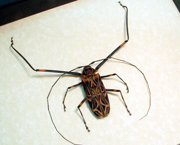 Acrocinus longimanus Harlequin Beetle