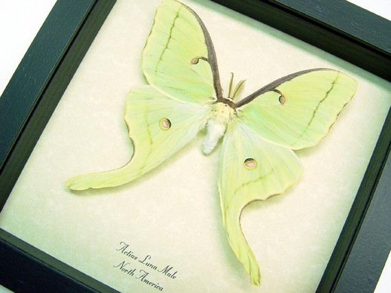 actias-luna-moth-male-framed
