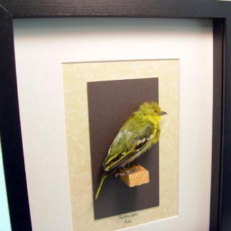 Taxidermy Aegithina tiphia The Common Iora Yellow Bird Real Framed