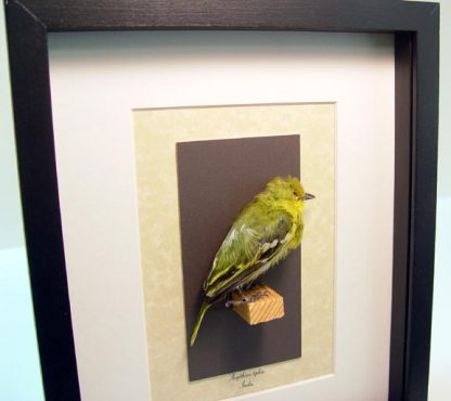 Taxidermy Aegithina tiphia The Common Iora Yellow Bird Real Framed