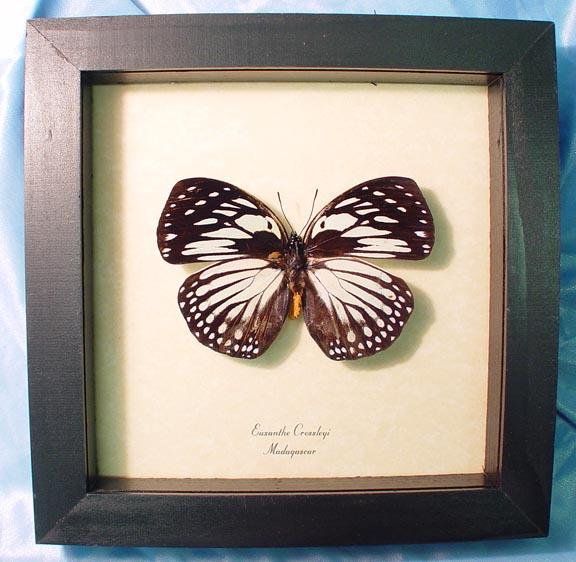 Euxanthe crossleyi Forest Queen Butterfly