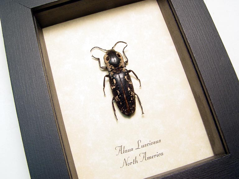 Alaus lusciosus Texas Eyed Click Beetle