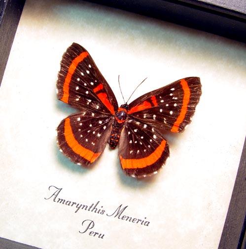 Amarynthis meneria Metalmark Butterfly