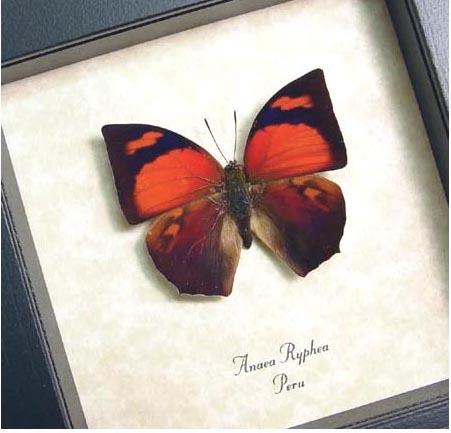 Anaea ryphea Red Butterfly