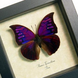 Purple Butterflies, Insects & More