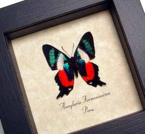 Ancyluris formosissima Frilled Majestic Framed Butterfly ooak
