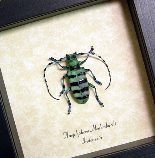 Anoplophora Medembachi Female