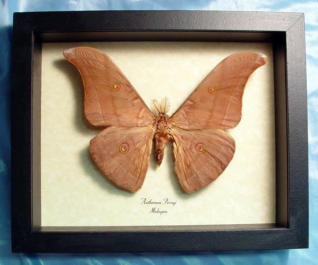 Antheraea pernyi Chinese Tussar Moth