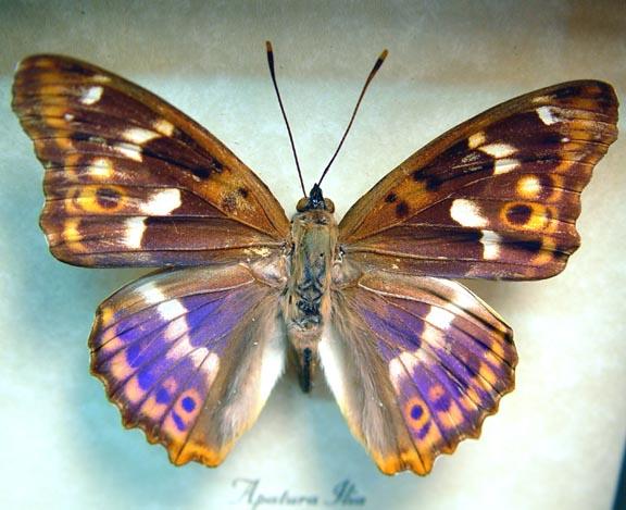 Apatura ilia Lesser Purple Emperor Butterfly