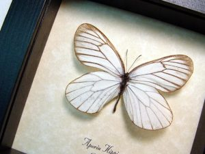 Aporia hippia Snow White Russian Butterfly