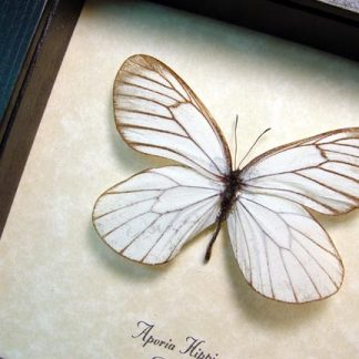 Aporia hippia Rare Russia Real Framed Snow White Russian Butterfly