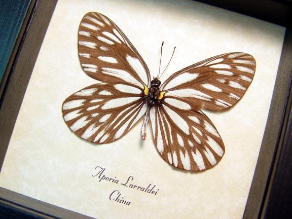 Aporia larraldei White Vein Butterfly