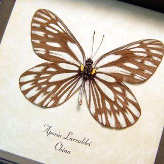 Aporia larraldei White Real Framed Butterfly
