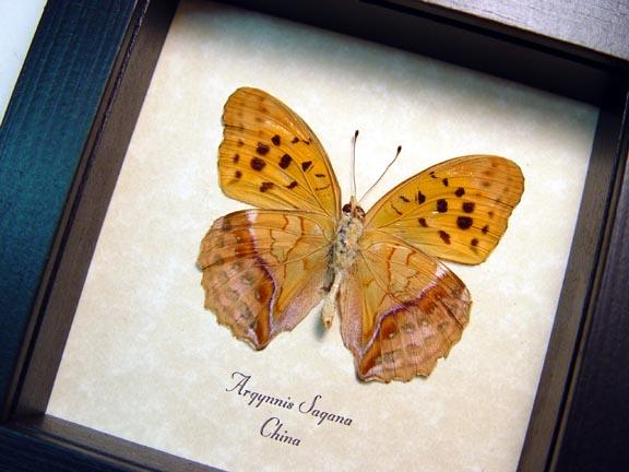 Argynnis sagana Leaf Mimic Butterfly