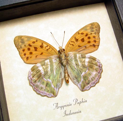 Argynnis paphia Silver Washed Fritillary Butterfly