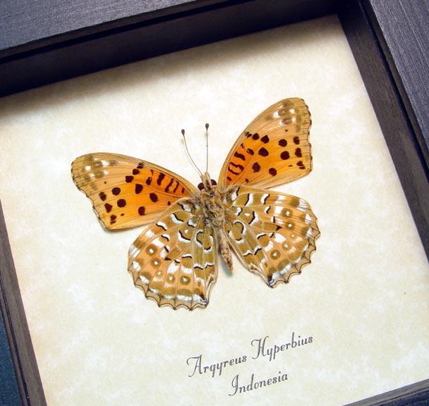 Argyreus hyberbius Male Butterfly