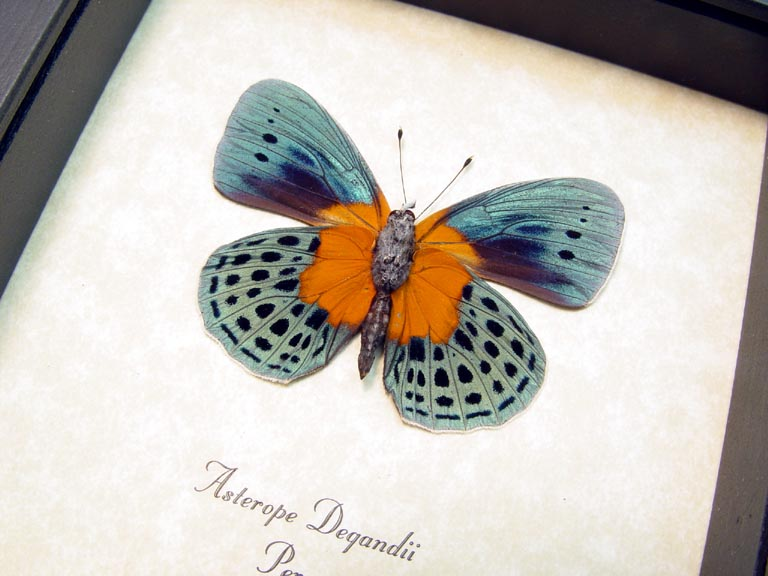 Asterope Degandii verso Orange Blue Butterfly