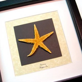 Asterias sp, The Common Starfish, Real Framed Orange Starfis