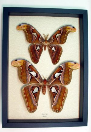 Larger Framed Insects