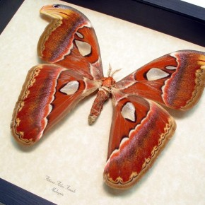Attacus atlas Female Giant Huge 8″ Wingspan Real Framed Moth