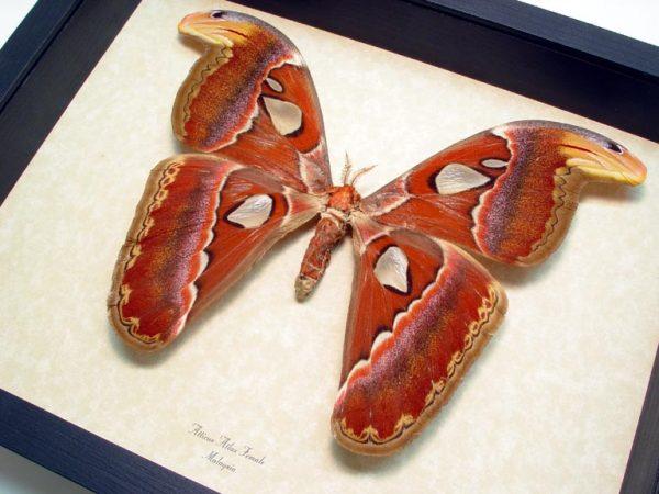 atticus-atlas-female-giant-silk-moth