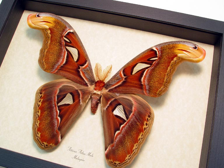 Attacus Atlas Male Large Giant Atlas Moth With Snake Head Wings Real ...