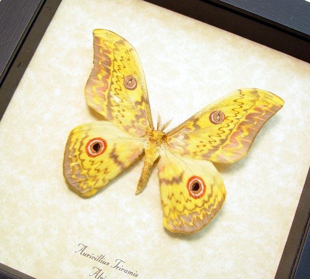 Aurivillius triramis African Silk Moth