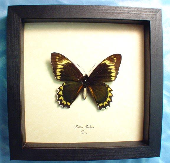 Battus Madyes Swallowtail Butterfly