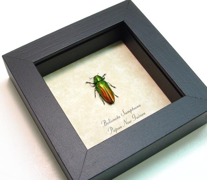 Belionota sumptuosa Tricolor Beetle