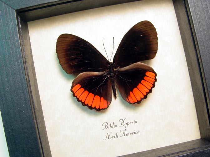 Biblis hyperia Red Rim Butterfly
