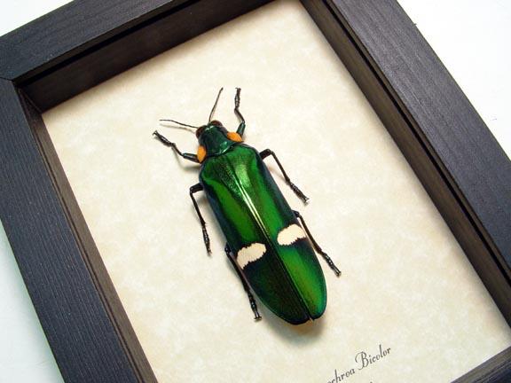 Chrysochroa bicolor Green Jewel beetle