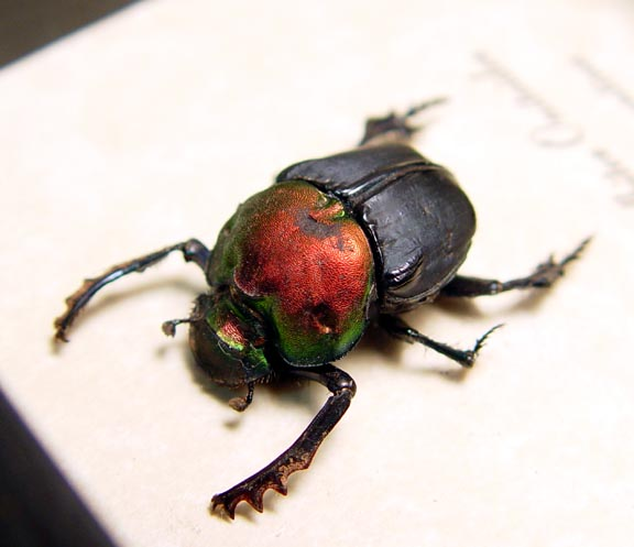 Bolbites onitoides Green Scarab Dung Beetle