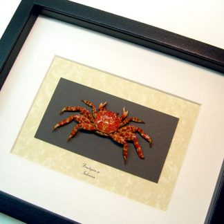 Brachyura sp. small Charles Darwin Crabs, Lightfoot Crab, Geosesarma Real Framed