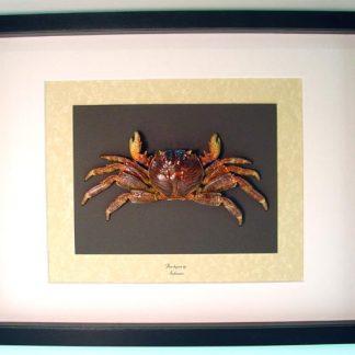 Brachyura Male Charles Darwin Crabs Geosesarma Real Framed