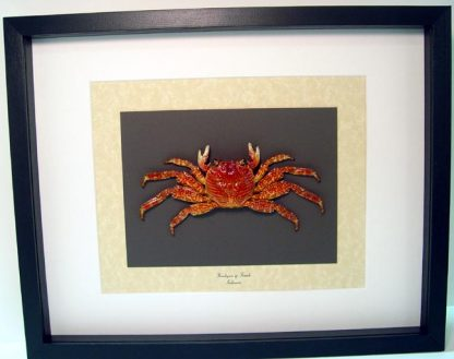 Brachyura sp. Female Charles Darwin Crabs, Lightfoot Crab, Geosesarma Sp Real Framed