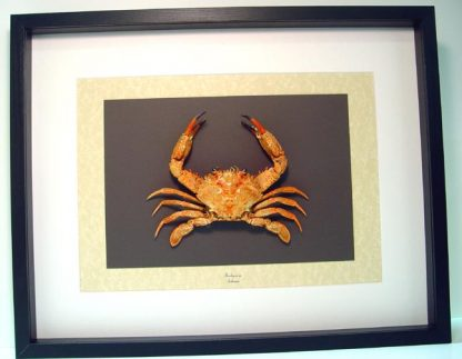 Brachyura sp. Giant Red Swimming Crab Real Framed Sea Life