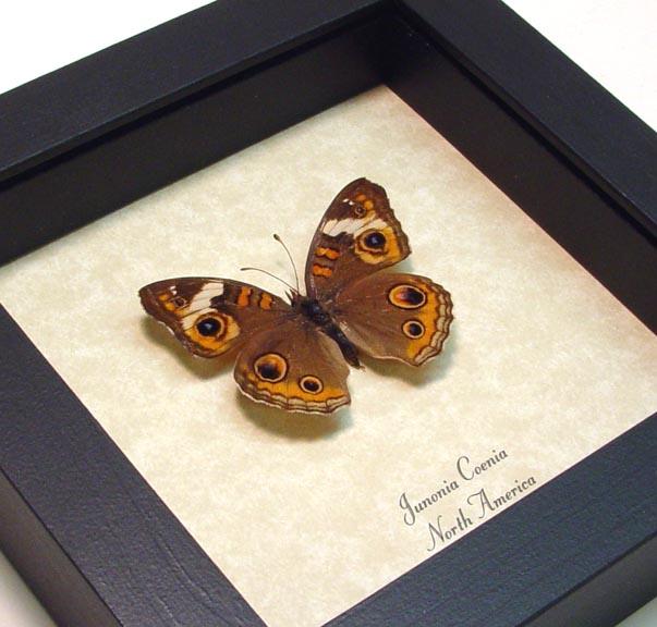 Junonia Coenia Framed Buckeye Butterfly