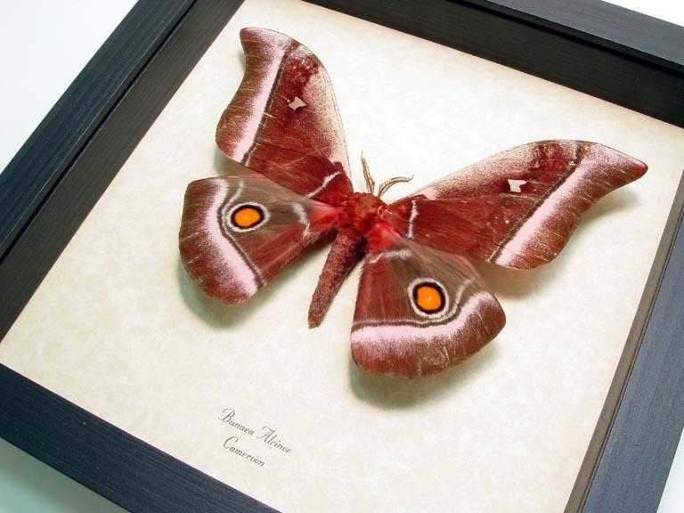 Bunaea alcinoe Emperor Moth